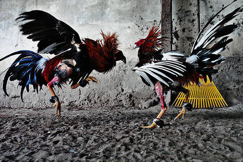 Mind-Blowing Photos - Cockfight – Photo Essay – Jan Sochor
