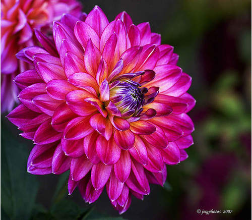 Mind-Blowing Photos - Refashioned Dahlia