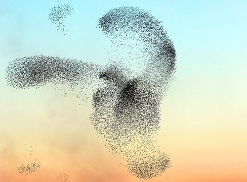 A Picture of a flock of starlings
