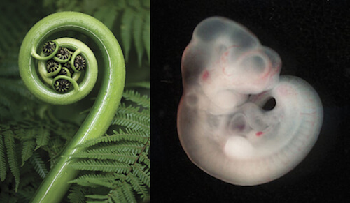 From unfurling ferns to a mouse embryo, life displays its process of becoming in the spiral of creative regeneration.
