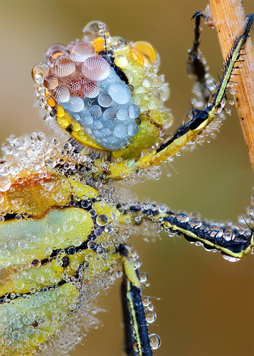 Red Veined Darter macro
