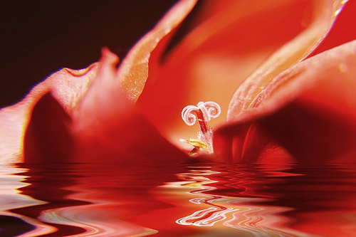 Flower in water macro