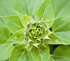 The bird's-eye view of leaves in a five-pointed star show the pattern of leaves spiraling around the plant's stalk in profile.