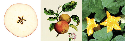 Apples, cherries, peaches, squash — all have five-petaled flowers that produce nutritious fruit for the human body.